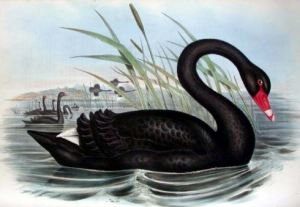 blackswan_johngould